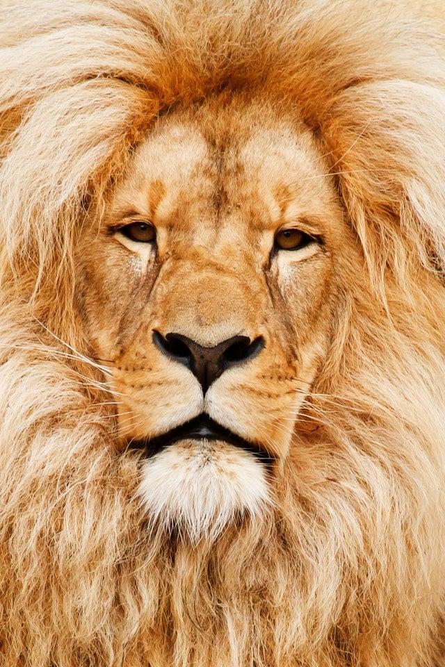león africano artículos