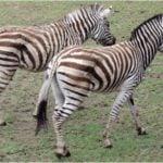 Cebra de Grevy (Equus Grevyi)