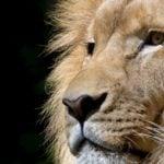 León Africano (Panthera Leo)