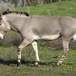 Asno Salvaje Africano (Equus africanus)