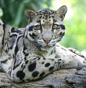 pantera nebulosa leopardo