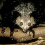 Aye Aye (Daubentonia Madagascarensis)