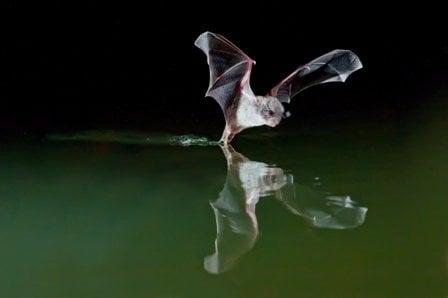 murcielago acuatico español peligro