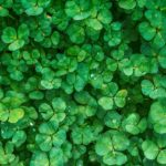 Trébol de cuatro hojas (Marsilea)