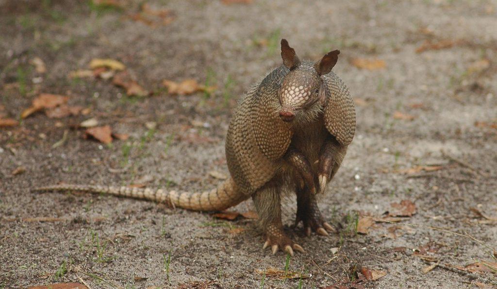 armadillo gigante peligro