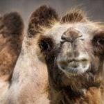 Camello bactriano (Camelus bactrianus)