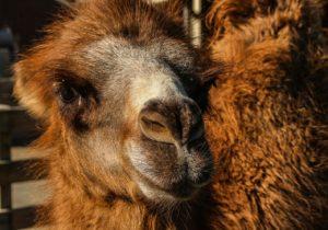 camello bactriano amenaza crítica