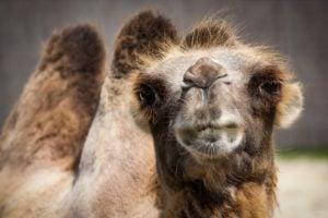camello de bactria en peligro