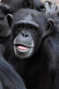 chimpancé africano