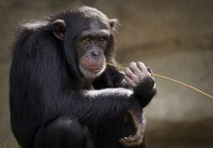 chimpance en peligro