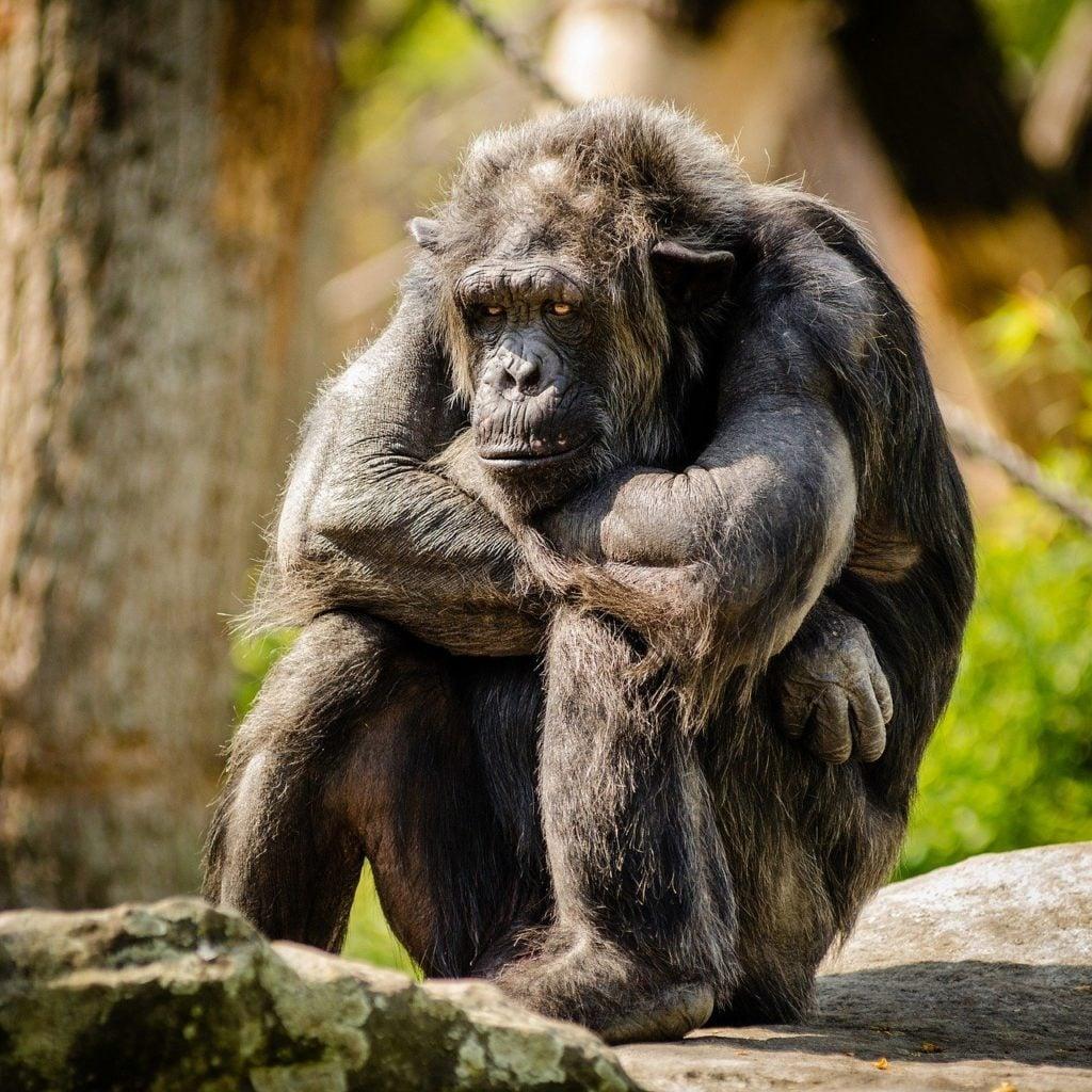 chimpance amenazado