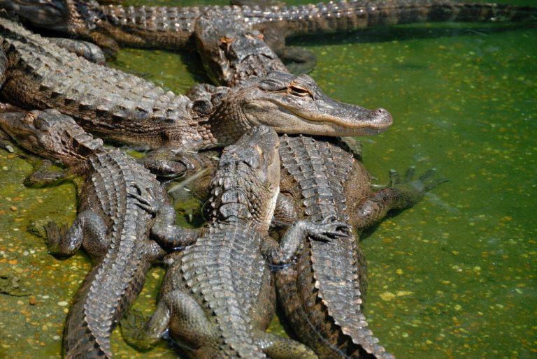 grupo de cocodrilos americanos vulnerables