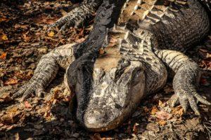 American Crocodile vulnerable