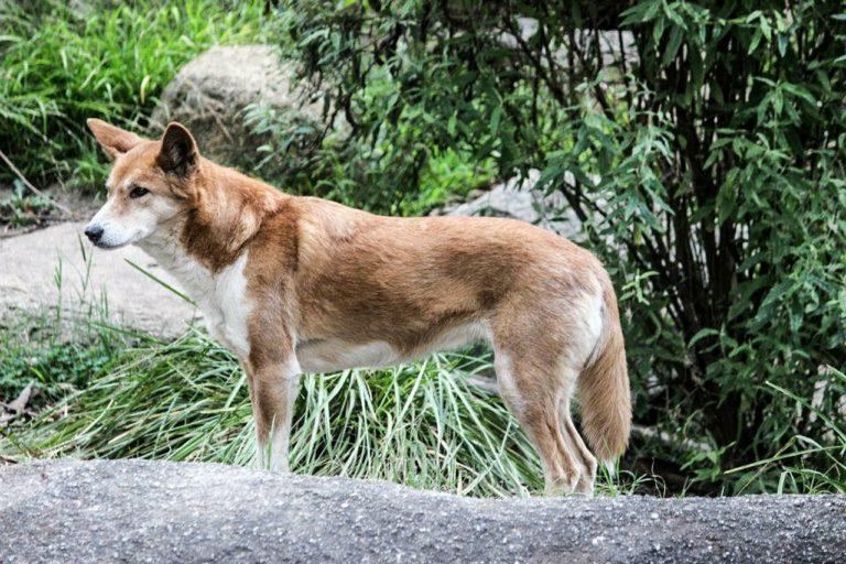 dingo australiano en peligro