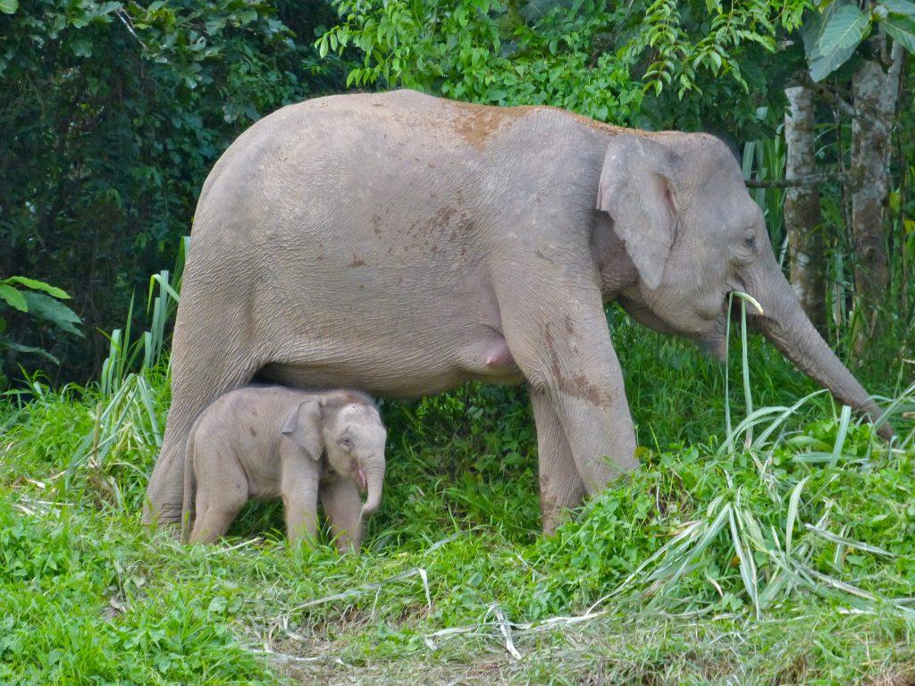 elefante enano de borneo