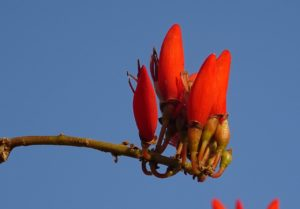 arbol coralino