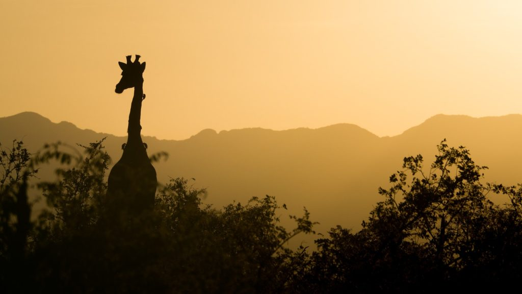 jirafas amenazadas subespecies