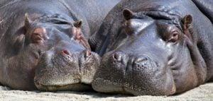 hipopótamos amenazados