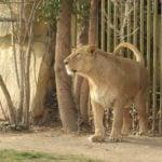León Asiático (Panthera Leo Persica)