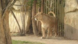 León Persa o asiático