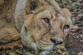 leon asiatico en peligro