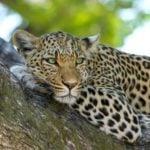 Leopardo de Arabia (Panthera pardus nimr)