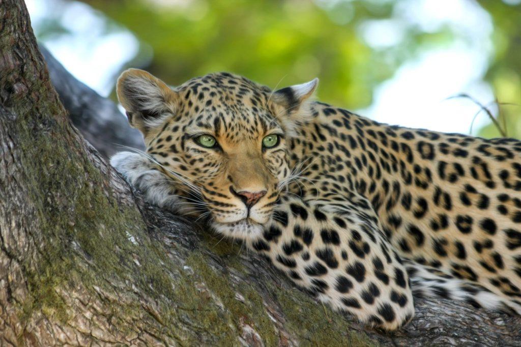 leopardo árabe amenazado
