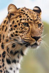 leopardo árabe vulnerable