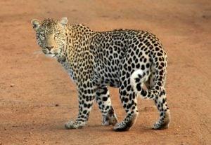 leopardo amenazado por el cambio climático