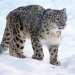 Leopardo de las Nieves (Panthera Uncia)