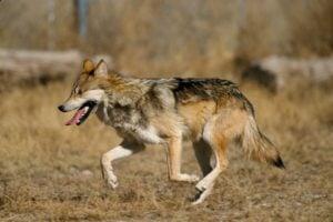 lobo mexicano amenazado