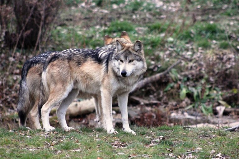 lobo en peligro de extincion