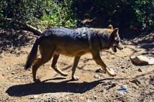 lobo mexicano extinto