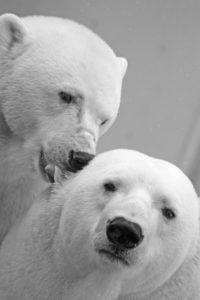 pareja osos polares