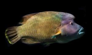 peces en peligro de extinción