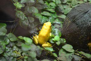 rana amarilla en peligro