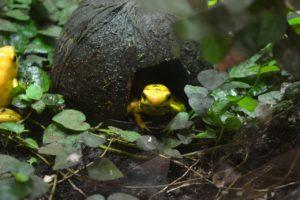 rana venenosa dorada en peligro