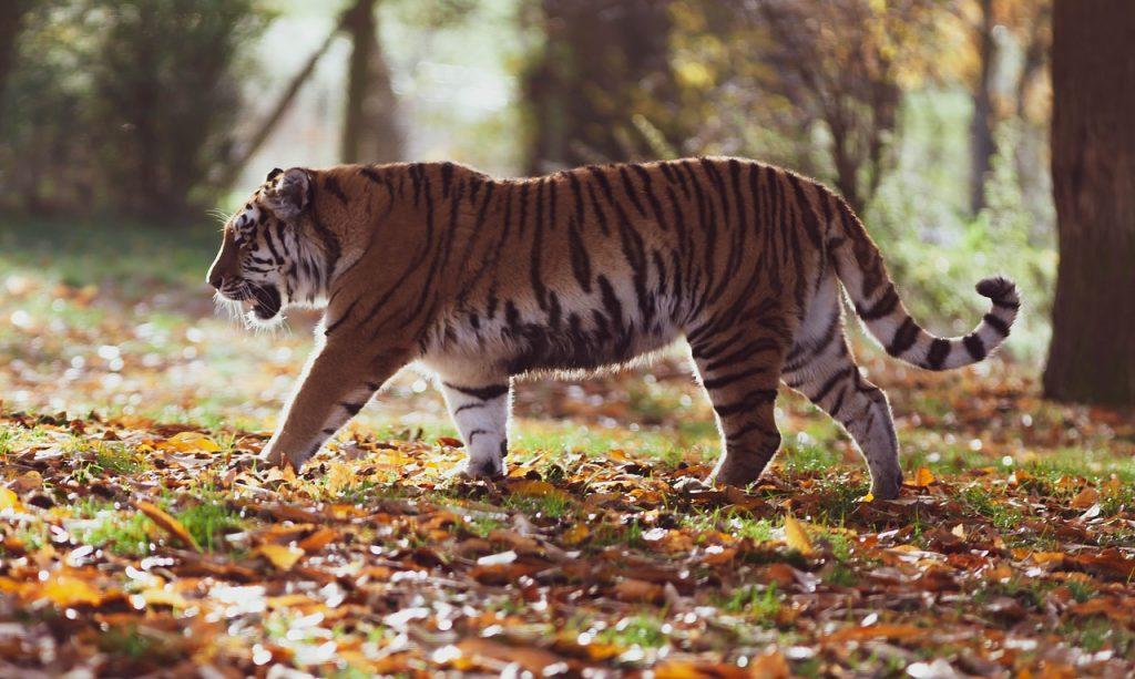 tigre de amur en peligro de extincion
