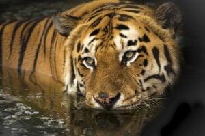 Tigre de Bengala Amenazado