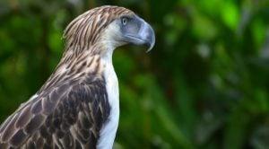 águila filipina en peligro crítico