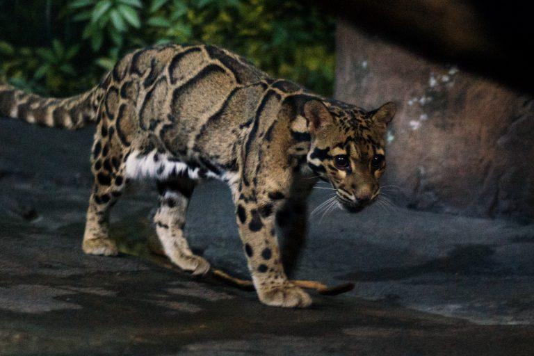 pantera nebulosa riesgo de extinción