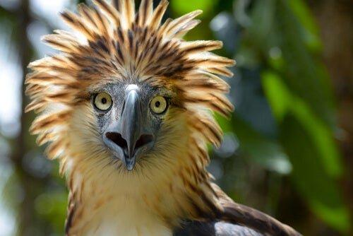 águila filipina peligro