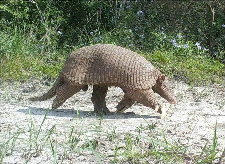 armadillo gigante en peligro
