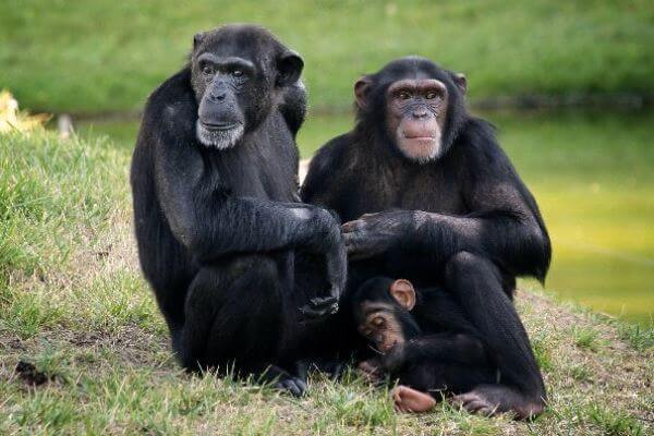 pareja de chimpancés