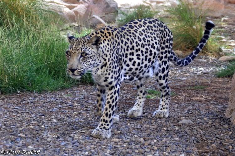 leopardo árabe