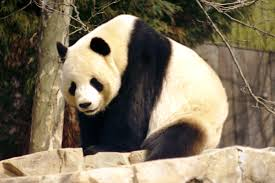 oso panda gigante amenazado