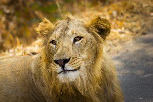 leon asiatico amenazado