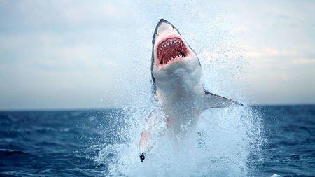 tiburón blanco amenazado