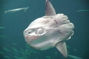 peces en peligro de extincion