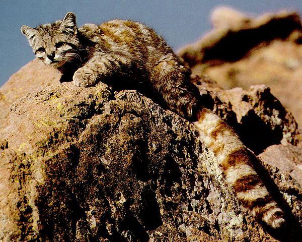 gato de los andes en peligro chile